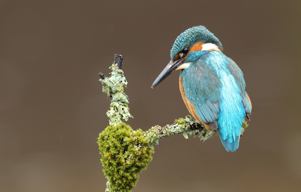 Picture bird, moss, branch, Kingfisher