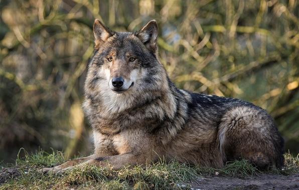 Picture look, background, wolf, predator, handsome
