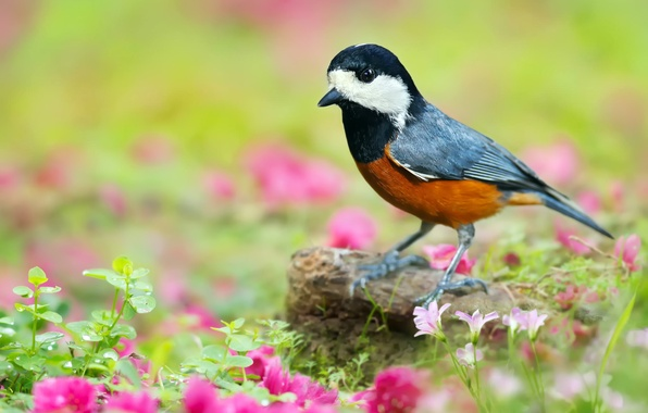 Picture greens, grass, leaves, flowers, nature, bird, stone, pink, Japanese tit, Yew tit