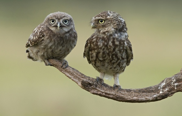 Picture birds, two, branch, owls