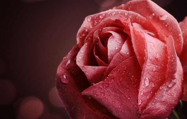 Wallpaper flower water drops macro flowers rosa - Rose with water drops wallpaper ...