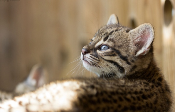 Picture cat, look, cub, kitty, cat Geoffroy