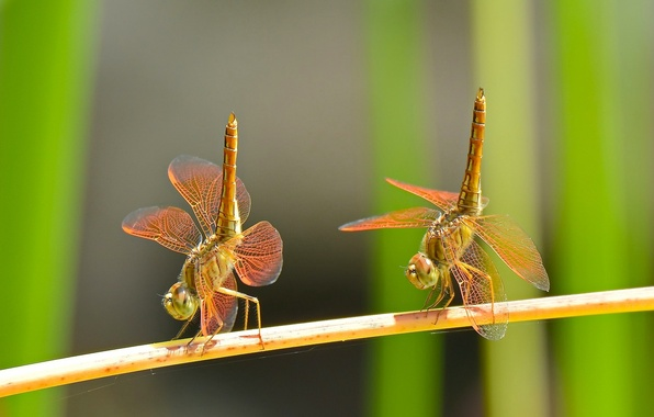 Picture macro, dance, a couple, Duo, dragonflies
