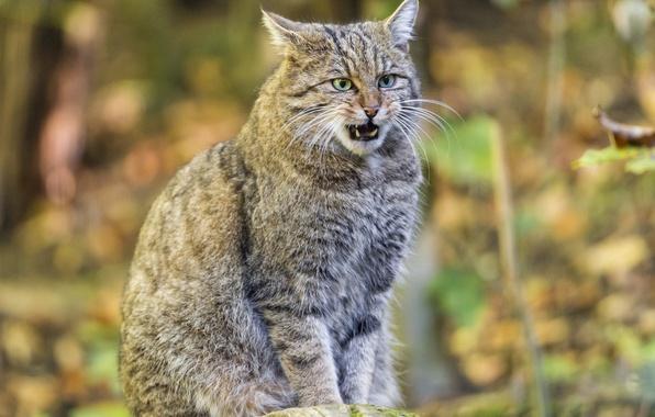 Picture cat, wildcat, wild cat, ©Tambako The Jaguar