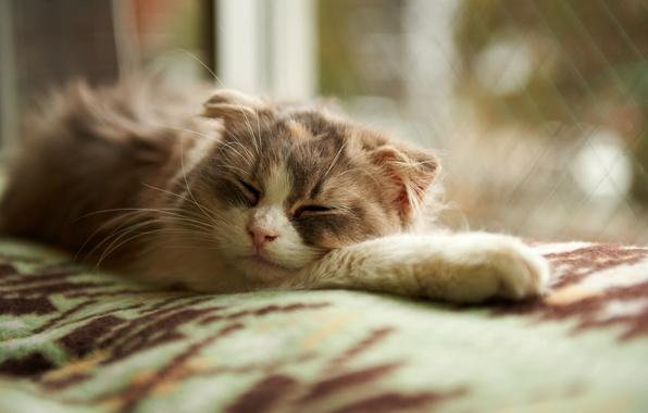 Picture cat, sleep, window, sleeping, blanket