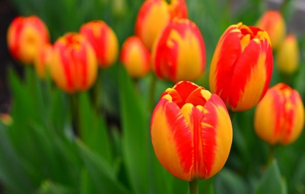 Picture leaves, petals, garden, meadow, tulips