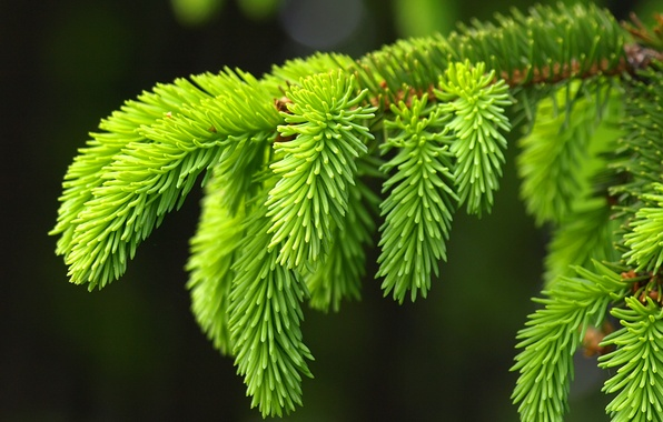 Picture macro, background, tree, spruce, branch, beautiful