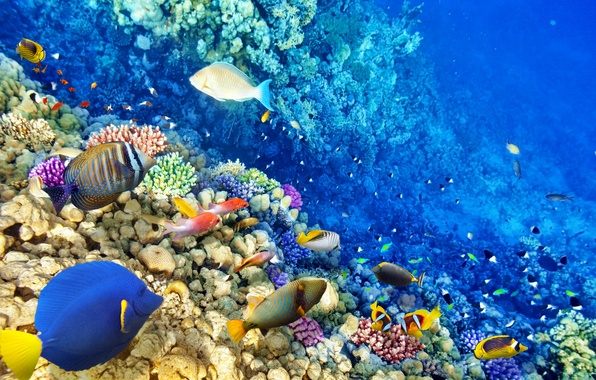 Picture fish, the ocean, world, underwater world, underwater, ocean, fishes, tropical, reef, coral, coral reef