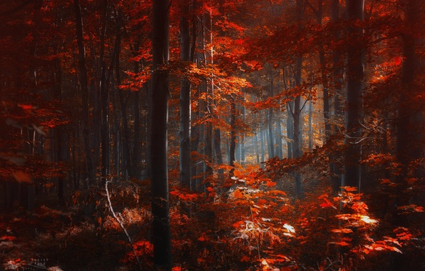 Picture autumn, forest, leaves, trees, red, Ildiko Neer