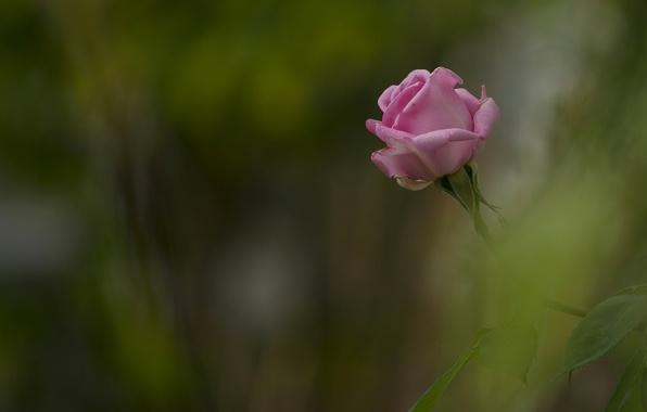 Picture rose, Bud, bokeh