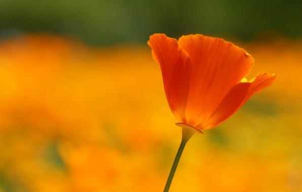 Picture field, flower, summer, macro, orange, red, bright, heat, glade, color, Mac, petals, al