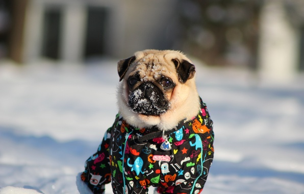 Photo wallpaper snow, pug, Pug, winter