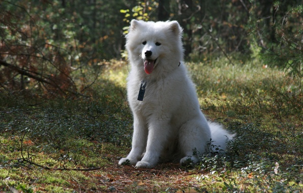 Picture forest, dogs, background, each, Wallpaper, dog, walk, Samoyed