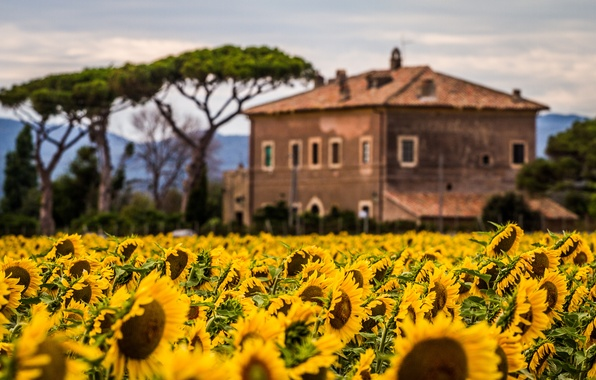 Picture field, sunflowers, flowers, nature, house, plants, house
