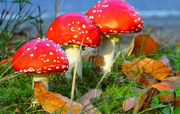 Picture autumn, grass, leaves, mushrooms, mushroom