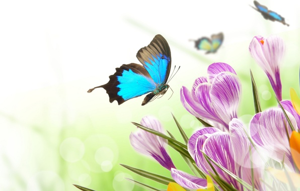 Picture butterfly, flowers, glare, spring, crocuses