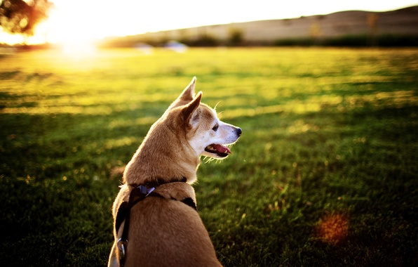 Picture field, language, the sun, rays, sunset, background, Wallpaper, pictures, dog, muzzle, collar