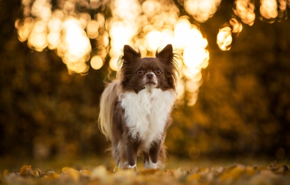 Picture dog, Chihuahua, bokeh, doggie