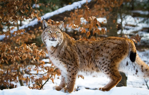 Picture winter, snow, pose, predator, grace, lynx, wild cat, the dry leaves