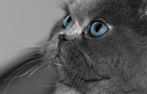 Picture cat, eyes, cat, look, grey, blue