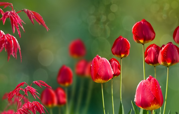 Picture nature, tulips, Acer