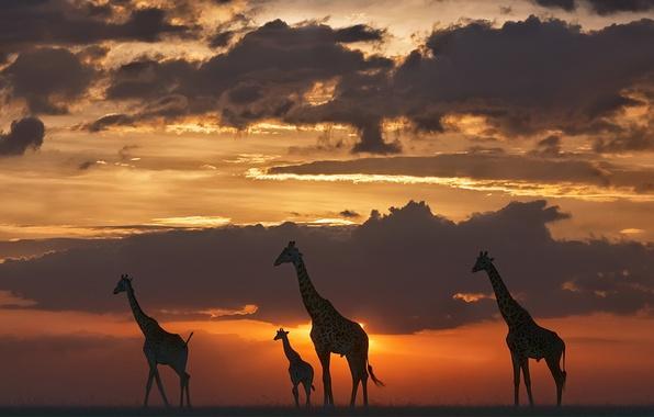 Picture night, nature, giraffes
