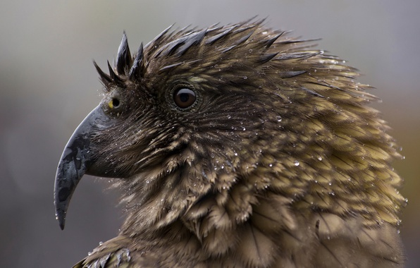 Picture drops, macro, New Zealand, endangered species, Nestor notabilis, Alpine parrot, Kea