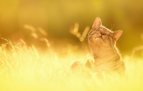 Picture grass, the sun, happiness, nature, Cat