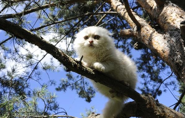 Picture cat, tree, white, on the tree, Scottish fold, Scottish fold cat