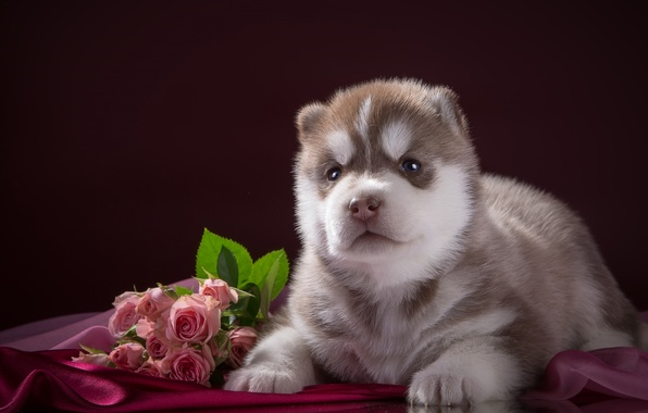 Picture roses, puppy, fabric, husky, breed