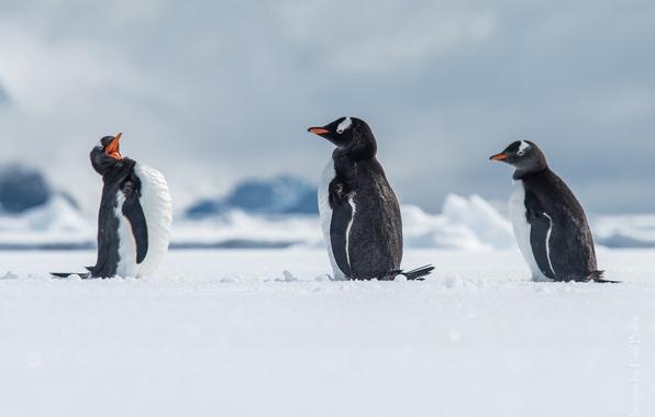 Picture snow, birds, penguins, Antarctica, Antarctica, a gentoo penguin, Wilhelmina Go