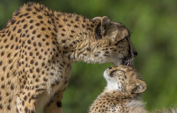 Picture love, weasel, cub, kitty, cheetahs, motherhood