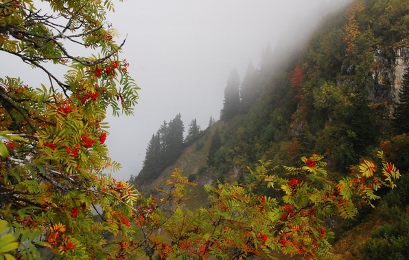 Picture autumn, forest, trees, mountains, branches, fog, berries, rocks, slope, Rowan
