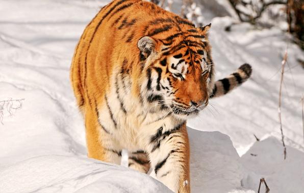 Picture snow, tiger, predator, hunting, big cat, Amur