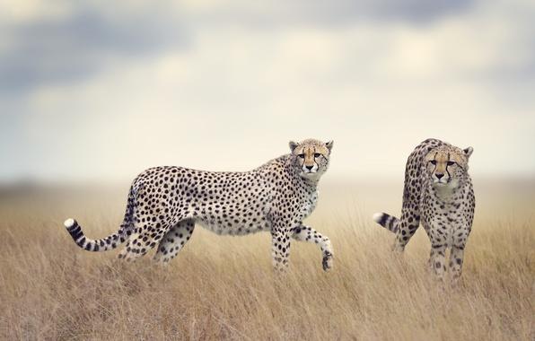 Picture field, grass, predators, pair, haze, two, bokeh, cheetahs