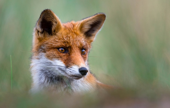 Picture look, face, portrait, Fox, red, ears, bokeh