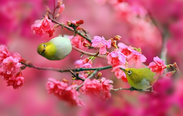 Picture flowers, branches, nature, cherry, Sakura, Birds, pink, Japanese white-eye