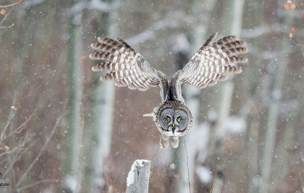 Picture winter, owl, bird, wings, flight, great grey owl