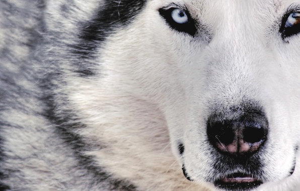 Picture white, wolf, dog