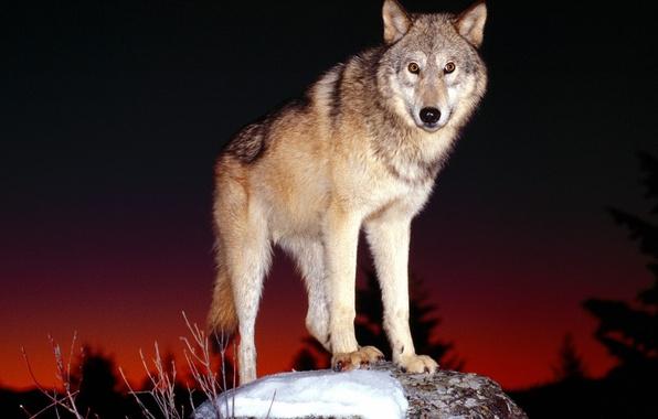 Picture look, night, wolf, predator