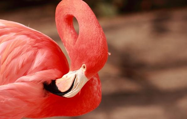 Picture pink, bird, beak, grace, Flamingo, neck, tail