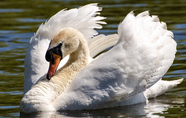 Picture white, water, bird, wings, grace, Swan, neck