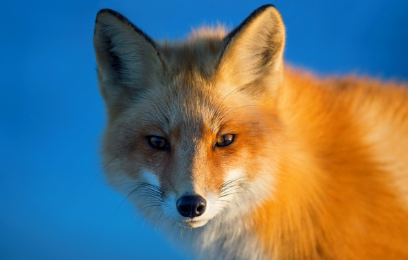 Picture look, background, portrait, Fox, red