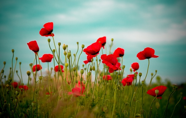 Picture field, the sky, flowers, red, nature, Maki