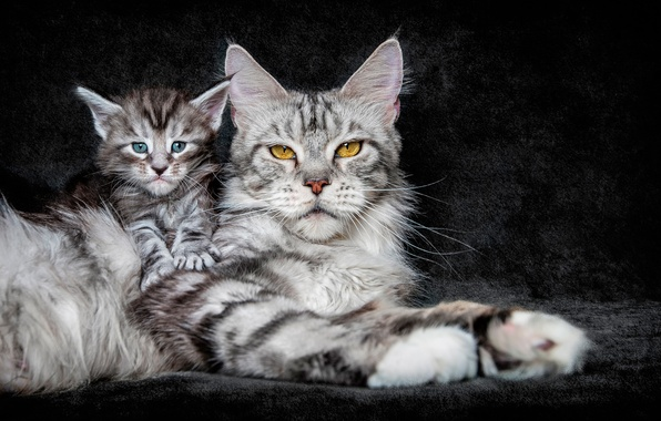 Wallpaper Cat Background Kitty Maine Coon Images For