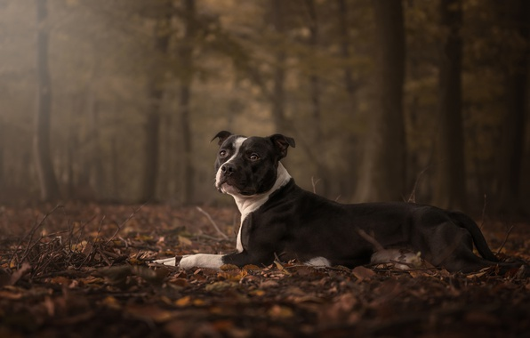 Picture sadness, autumn, forest, look, face, leaves, pose, foliage, dog, lies