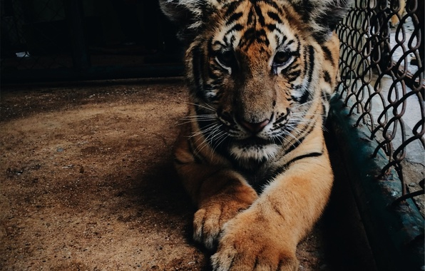 Picture face, tiger, cell, paws, tiger, aviary