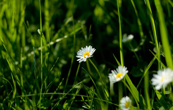 Picture flowers, nature, chamomile, macro grass