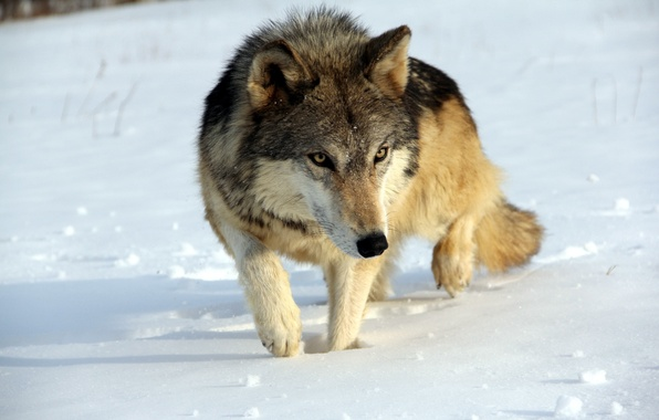 Picture winter, nature, wolf