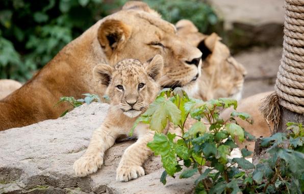 Picture cats, stone, cub, lions, lion
